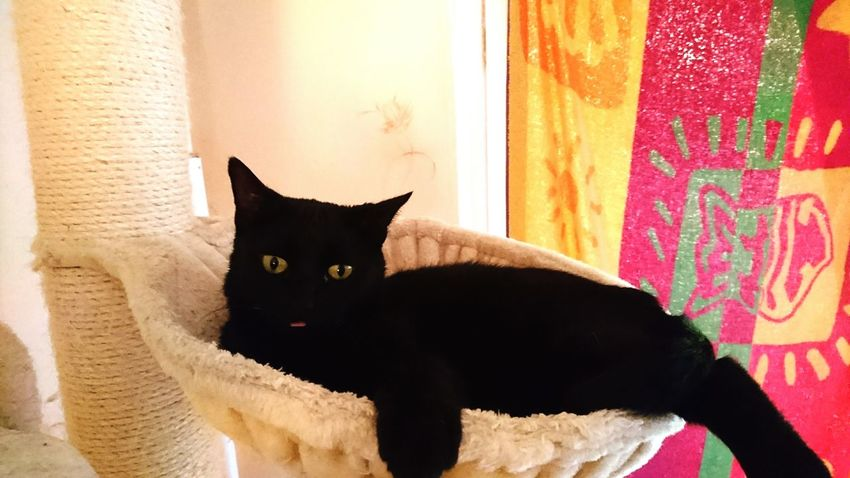 Katze Zunge Raus Cat Domestic Animals One Animal Pets Animal Themes Zoology Animal Eye Animal Domestic Cat Black Color Animal Head  At Home Tiere