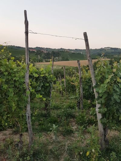 No People Rural Scene Day Sky Nature Hill Summer Piedmont Italy Langhe Vineyards  Freshness Scenics Wine Growth Sunset Beauty In Nature Landscape Agriculture Field Nature Winemaking Tranquility