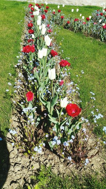 High Angle View Red No People Christmas Green Color Outdoors Flower Nature Grass Christmas Decoration Close-up Day Freshness Tulip Flowers Tulipmania Tulipanes🌷 Tulipan Tulips🌷 Tulips Flowers Tulipano Tulipe Medias Flower Head Fragility Freshness