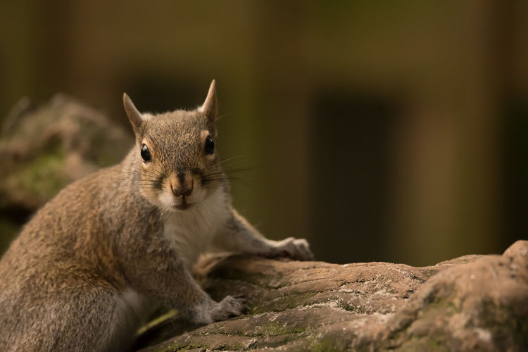 Animal Portrait Animal Animal Themes One Animal Mammal Animal Wildlife Animals In The Wild Rodent Vertebrate No People Close-up Squirrel Selective Focus Rock Rock - Object Solid Nature Day Portrait Focus On Foreground Looking At Camera Whisker Animal Eye