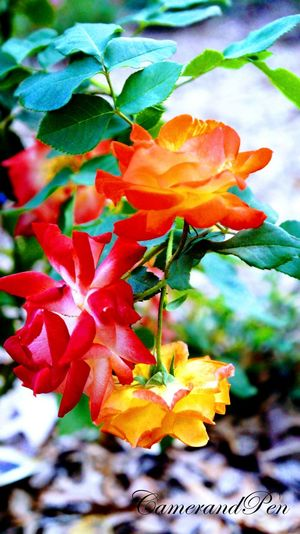 Flora Flower Nature Plant Outdoors Beauty In Nature No People Close-up Fragility Flower Head Leaf Day Petal Roses Botanical Garden Tri-colored Flowers EyeEmNewHere
