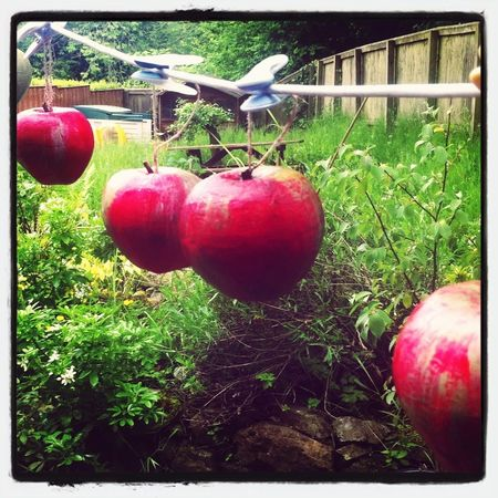 Apples for the teachers drying in the sun