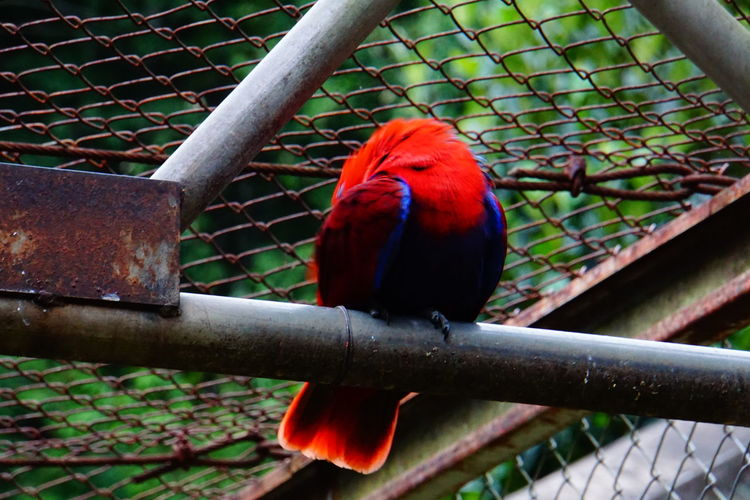 Electus parrot (Eclectus roratus), Female (red). Pet Portraits Animal Themes Beauty In Nature Bird Cage Chainlink Fence Close-up Day Macaw Nature No People One Animal Outdoors Parrot Perching