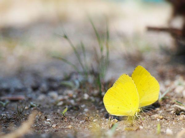カラダに… ココロに… 吸水を… キチョウ 蝶々 Butterfly Collection Butterfly - Insect Insect Collection EyeEm Nature Lover EyeEm Best Shots EyeEm Gallery Eyemphotography Taking Photos My Point Of View EyeEm Best Shots - Nature