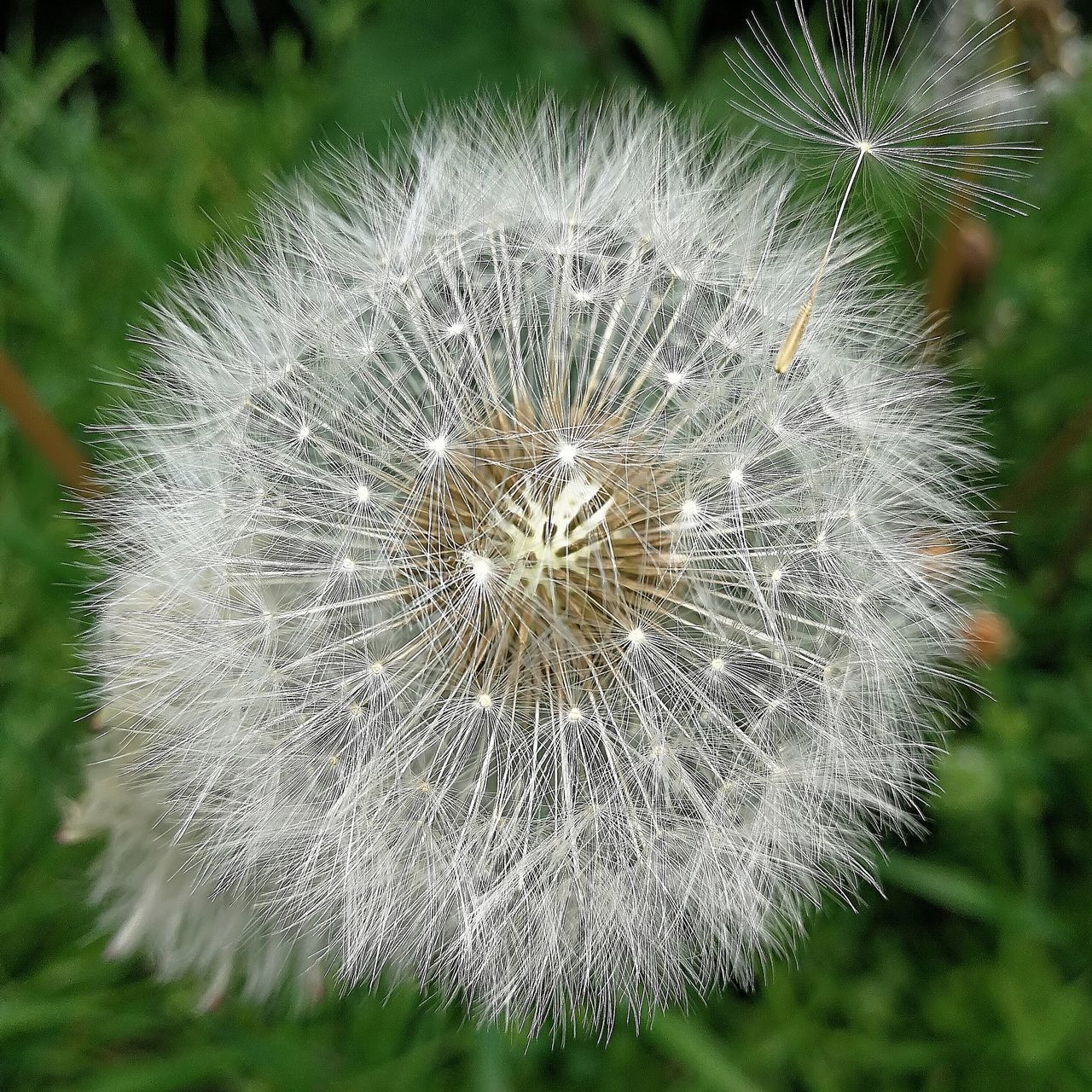 dandelion, flower, delicate, growth, softness, nature, relaxed moments, tissue, plant, close-up, fragility, flower head, no people, freshness, outdoors, day