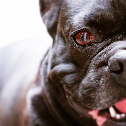 Bulldog Photography
