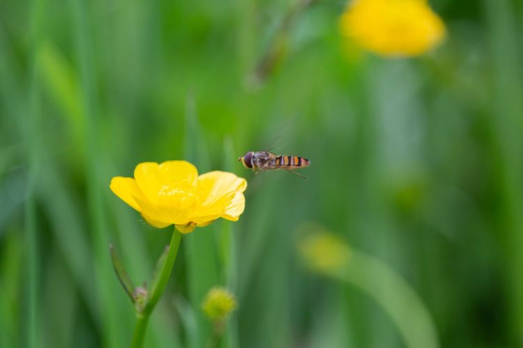 coming in to land EyeEmNewHere Eyeem Insects Hoverfly On Flower Hoverfly Buttercup Hampstead Heath London Butterfly - Insect Wildflower Fly In Bloom Plant Life Flowering Plant