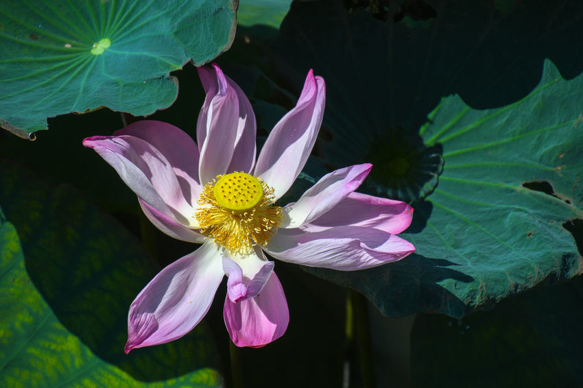 Beauty In Nature Close-up Floating On Water Flower Flower Head Flowering Plant Fragility Freshness Growth Inflorescence Leaf Lotus Water Lily Nature No People Outdoors Petal Pink Color Plant Plant Part Pollen Pond Purple Vulnerability  Water Lily