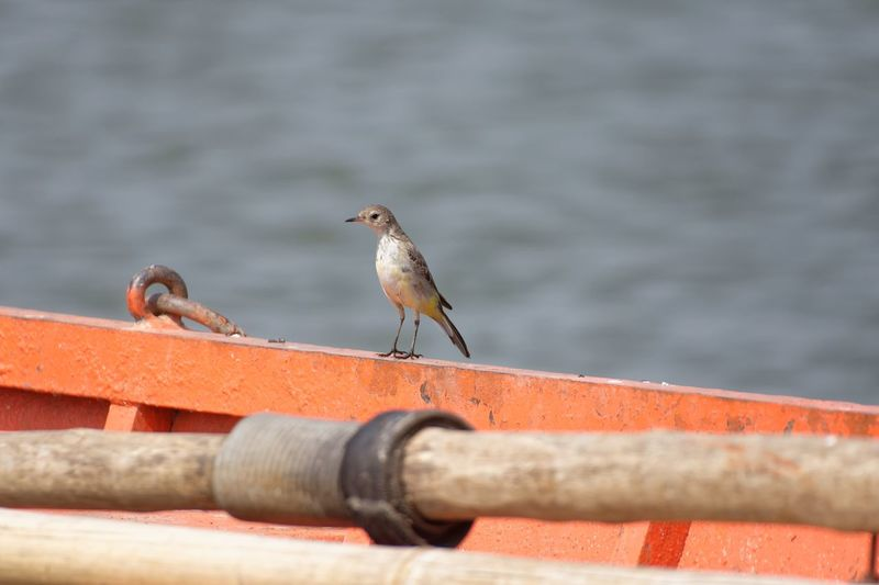 A female yellow wagtail on a boat in a lake Cute Small Bird India Lake Boat Bamboo Orange Color Yellow Wagtail EyeEm Selects Animal Animal Wildlife Animals In The Wild Animal Themes Vertebrate Bird No People Day Perching Nature Metal Railing