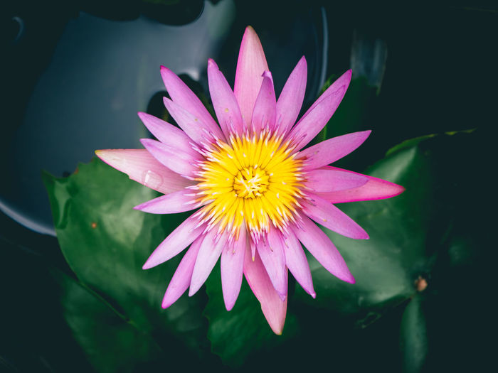 Water Lily in the pool. Flower Beauty In Nature Growth Purple Plant Outdoors Pollen Blooming Nature Water Lily Oriental Beautiful