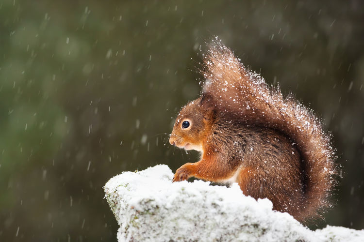 Close-up of squirrel on rock during snowfall