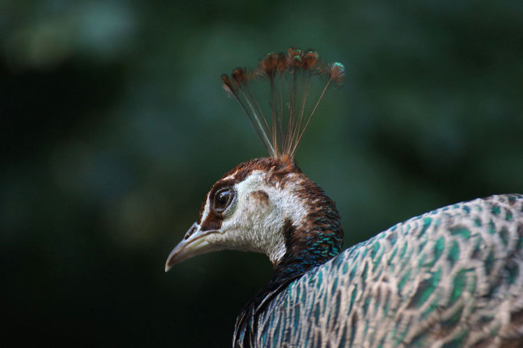 Close-up of female peacock looking away