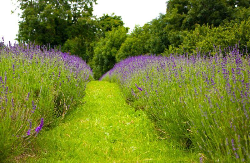 Purple crocus flowers growing on field