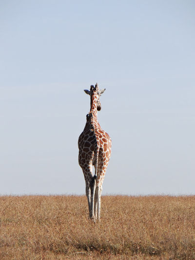Low Angle View Of Giraffe Standing On Field Against Clear Sky