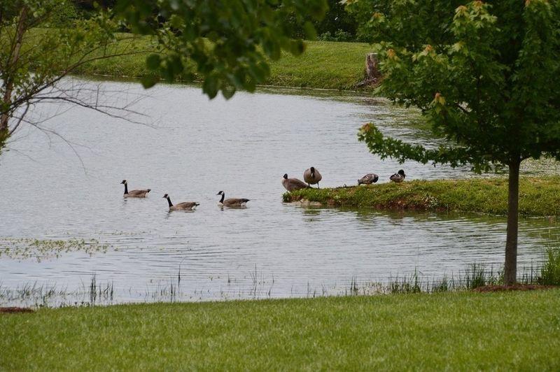 Geese at the lake.