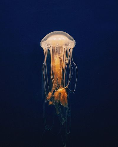 Jellyfish Jelly Aquarium Underwater Sea Ocean