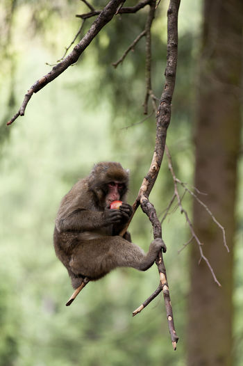 Full length of baboon hanging on branch while eating fruit