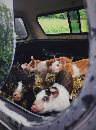 Pigs in a car