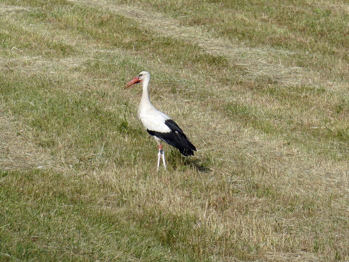 I have seen you 🕊 Sommertag Watching Attention Vogel Summertime Trockenheit Dryness Aridness Wiese  Südpfalz Rheindamm Storch Standing Rheinaue Rheinauen Bird White Stork High Angle View Grass Stork