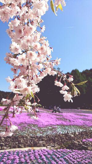 【Hyogo,Japan】cherry blossom 芝じゅうたん Sanda City Pink Color Moss Phlox Japan Spring April A Carpet Of Flowers Tree Flower Clear Sky Springtime Blossom Flower Head Sky Close-up Cherry Blossom