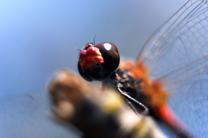 Close-up Dragonfly Insect Ladybug Macro Selective Focus