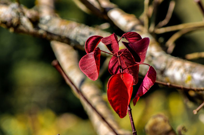 Nature Photography Beauty In Nature Beauty In Nature Botany Branch Close-up Day Flora Floral Flower Focus On Foreground Fragility Garden Leaf Nature No People Outdoors Petal Plant Red Rural Scene Softness Tree