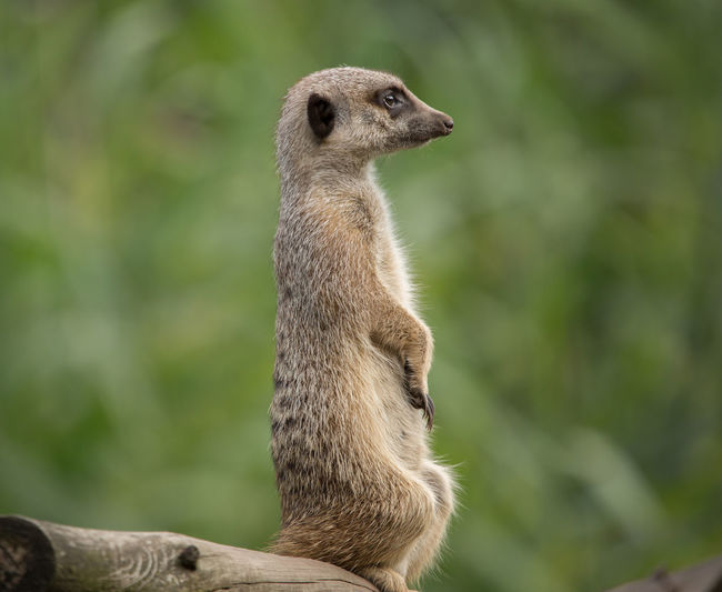 Animals In The Wild Slender-Tailed Meerkat Animal Animal Themes Animal Wildlife Animals In The Wild Meerkat One Animal