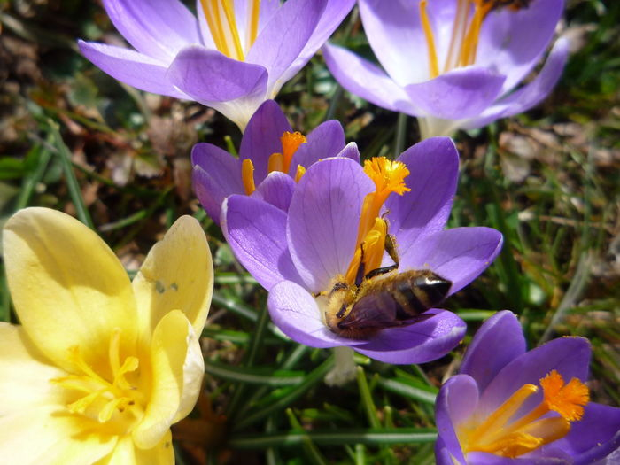 #frühling #krokusse #spring Animal Themes Animal Wildlife Animals In The Wild Beauty In Nature Bee Blooming Buzzing Close-up Day Flower Flower Head Focus On Foreground Freshness Growth Insect Nature One Animal Outdoors Plant Pollen Purple Yellow