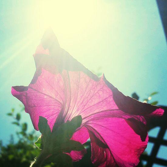 Purple Petunias Sunshine Photooftheday