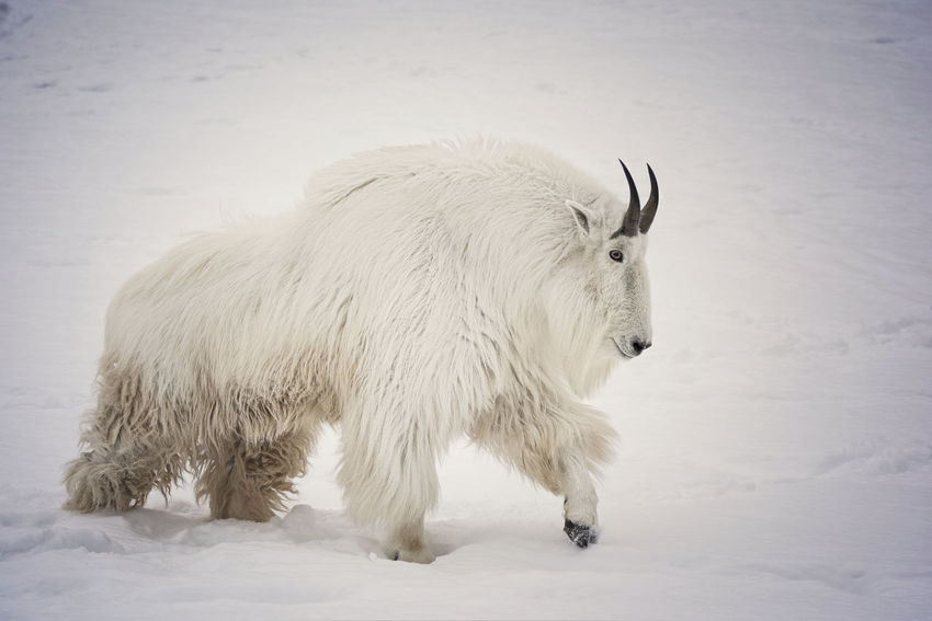 Mountain Goat Goat Horns Wildlife & Nature Wildlife Photography Animal Themes Beauty In Nature Cold Temperature Day Male Mammal Mammals Nature No People One Animal Outdoors Rocky Mountain Goat Snow Standing White Color Wildlife Winter Yukon Territory