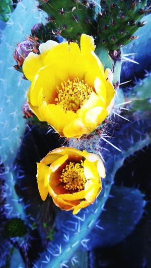 Cactus' flowers... Nature's beauty is everywhere Cactus Cactus Flower Desert Flora Boho Style Boho Life Boho Vibes Nature Nature Photography Flower Flowerporn