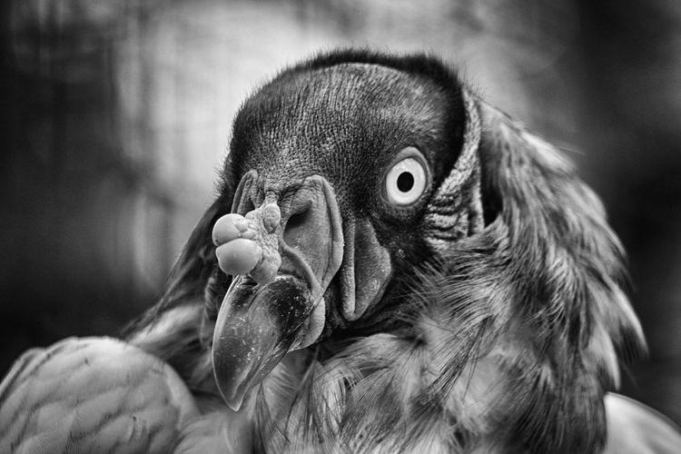 ... und in schwarz/weiß Königsgeier Portrait Looking At Camera Gorilla Close-up Zoo Animals In Captivity HEAD Birdcage Animal Eye