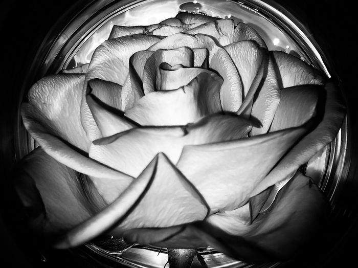 Rose at its best Bnw Black And White Greyscale Blackandwhite Close-up Indoors  Flower Flowering Plant No People Plant Freshness Art And Craft Rosé Beauty In Nature Nature Inflorescence Pattern High Angle View Still Life Rose - Flower Flower Head Creativity