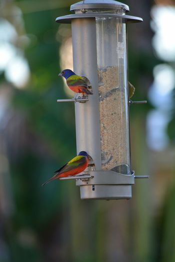 Painted Buntings at birdfeeder Bird Painted Bunting Animal Wildlife Bird Feeder Perching Animals In The Wild Animal Themes Songbird  Close-up Nature Focus On Foreground Outdoors Birds At Feeder Wildlife In My Backyard Backyard Photography Day