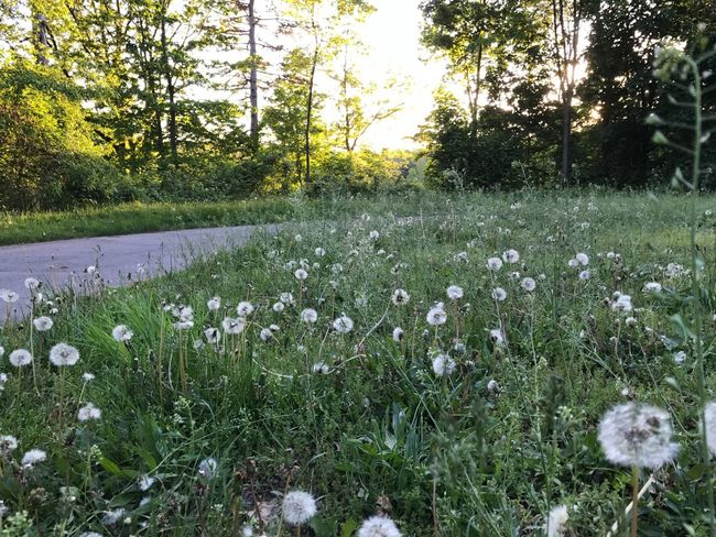 Dandelion Field Nature Sunlight Grass Fragility