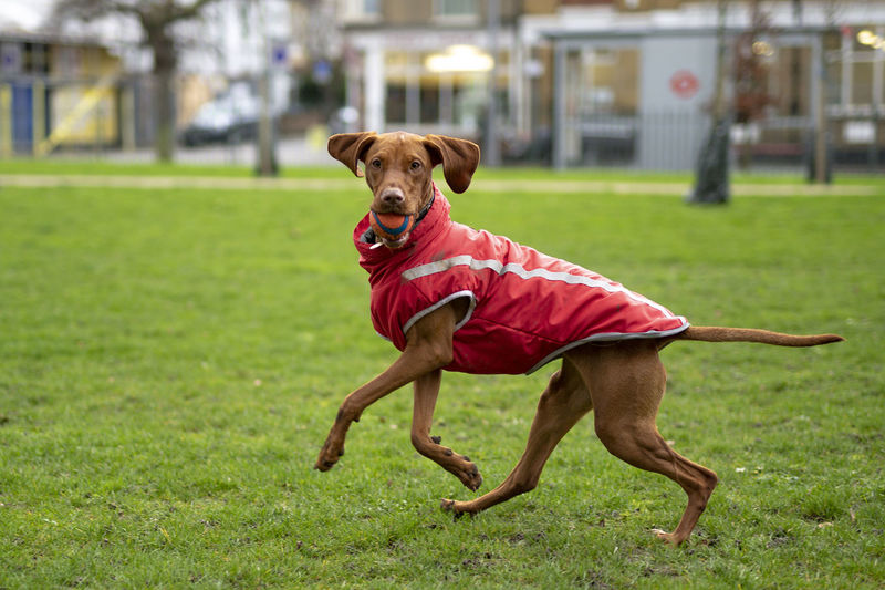 Portrait of dog carrying ball on sports field