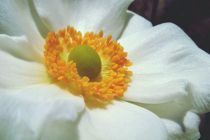 Flower Japanese Anemone