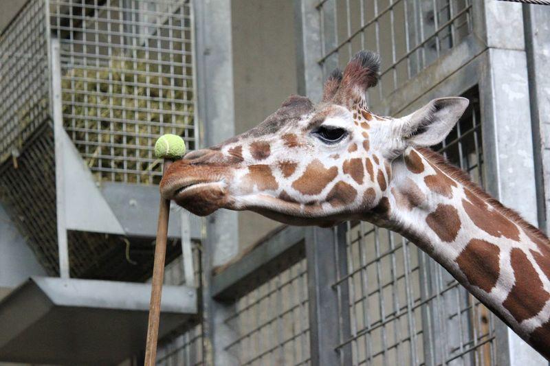 Close-up of giraffe in zoo