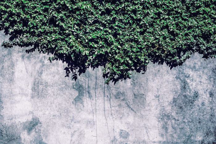 Adapted To The City Creeper Plant Fenced Out Ficus Garden Wall Plants And Garden Weathered Wall