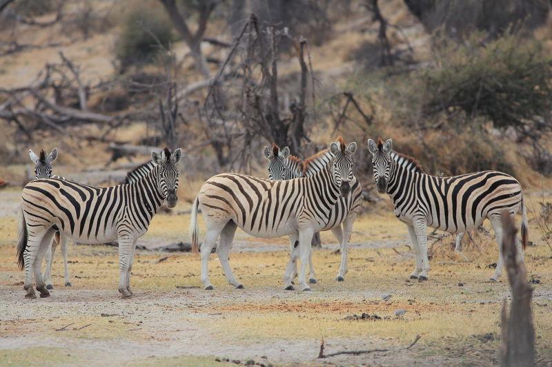 Zebras Standing On Field