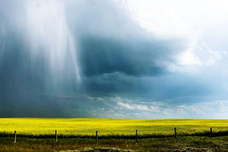 Alberta has my heart Alberta Alberta Canada Canola Canola Field Canola Crops  Crops Farming Farms Country Storm Rain Colors Weather Thunderstorm Nature Storm Cloud Flower Agriculture Sky Landscape Dramatic Sky Rural Scene Yellow Scenics Outdoors