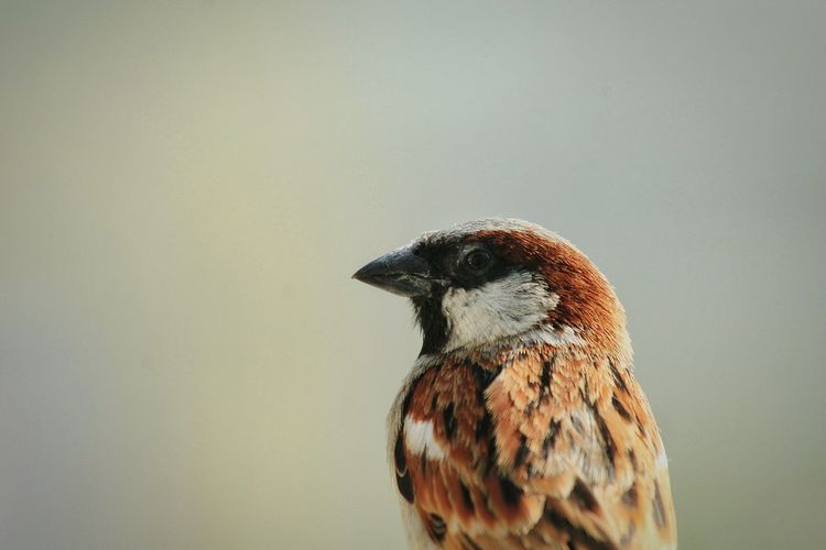 Male Sparrow .... Birds Of EyeEm  Birds Open Edit Taking Photos Canon Getting Inspired Eyeemnatureshots Naturephotography Lovelynatureshots Beautiful Nature EyeEm Nature Lover Birds_collection Birdsofinstagram