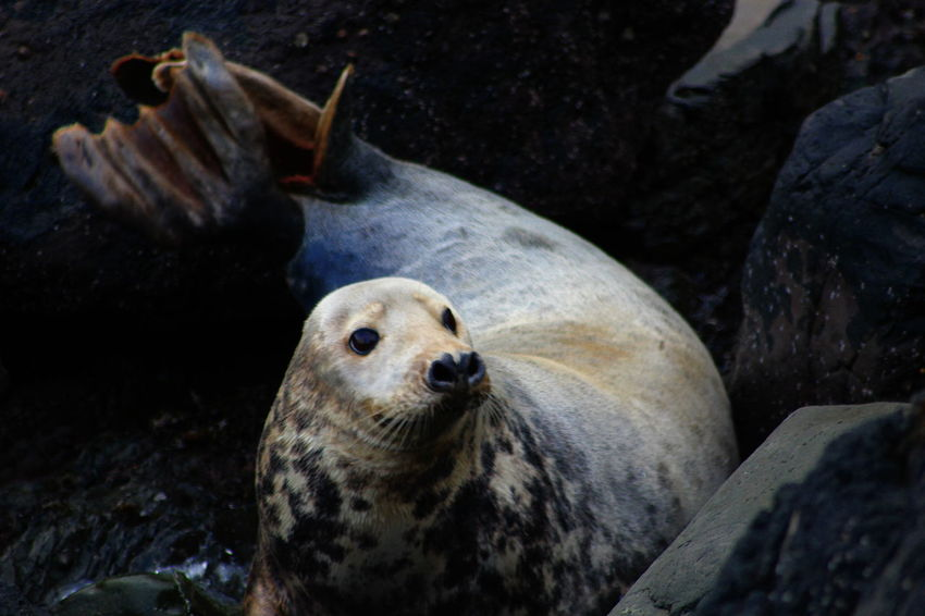 Having a Seal-ly good time doing some fieldwork Animal Wildlife Animal No People Seal - Animal Sea Marine Seal Outdoors Gray Seal Grey Seal Haulout Scottish Sea Scotland Scottish Wildlife Scotlandsbeauty Ocean Life Marine Life Sea Dog