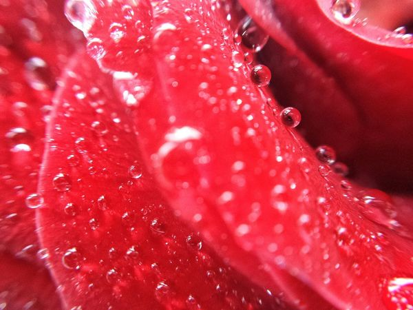 Phone Photography With Clip-on Macro Lens Samsung Galaxy S4 Phone Waterdroplets Phone Photography Close-up Rose Droplets Collection PhonePhotography A Colorful World Flower Out Of The Dumpster Close-up Flower Patles Samsung Galaxy S4 Drops_perfection Droplets Drop Collection Red Rose Close-up Rose Patles Firstmacro Lelystad Flowers Detail Red Rose Waterdrops Raindrops On A Rose Phone Macro