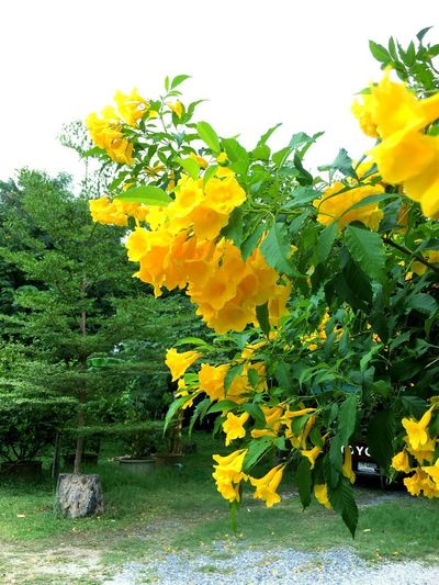 Yellow flower and sky Flower At Yard Flower In The Garden Yellow Flower And Tree Yellow And White Sky Plant Yellow Flower Flowering Plant Growth Beauty In Nature Tree Freshness Nature Flower Head Vulnerability  Fragility Day No People Sky Outdoors Petal Inflorescence Tranquility Park