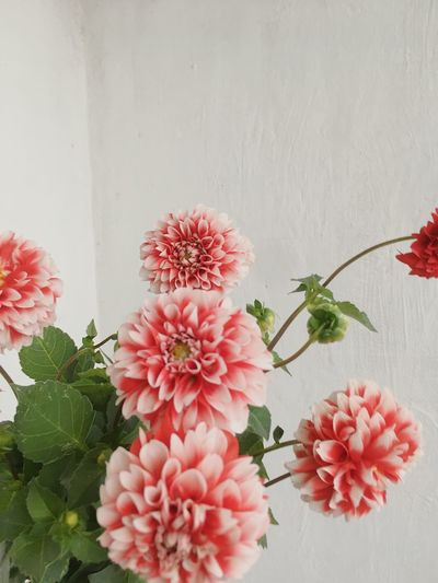 Close-up of pink flowering plants against wall