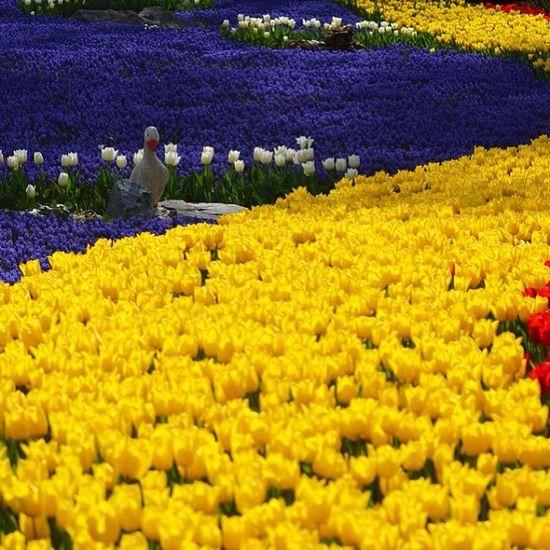Istanbul Emirgan Park Koru tulip flower lale cicek bahar manzara nature color sari lacivert fenerbahce