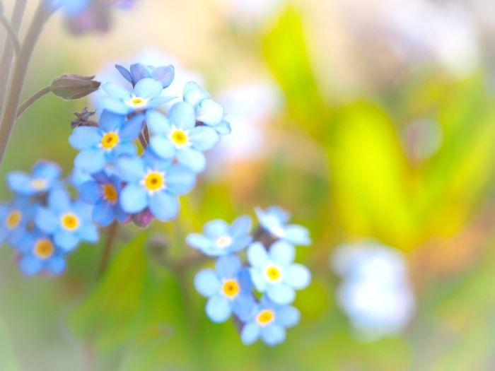 君を忘れない… 忘れな草 Flower Collection EyeEm Nature Lover EyeEm Best Shots EyeEm Gallery Eyeemphotography 日だまり EyeEm Best Shots - Nature Beauty In Nature Springtime Blossom Flowering Plant