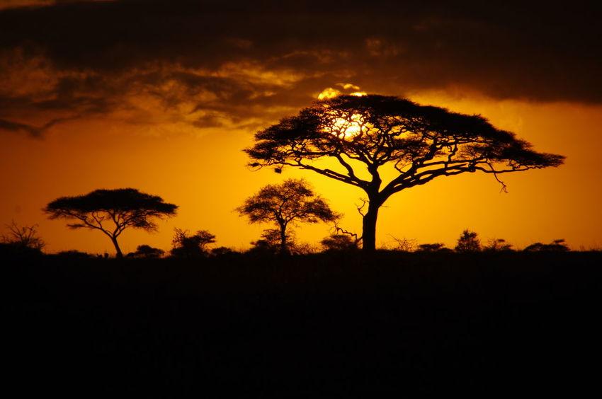 Sunrise in Serengeti, Tanzania, Africa Acacia Tree Beauty In Nature Landscape Lone Natural Park Nature No People Orange Sky Outdoors Scenics Serengeti Silhouette Sky Solitude Sonnenaufgang Sun Sunrise Sunrise Silhouette Sunset Tranquil Scene Tranquility Tree 日出 日落 非洲
