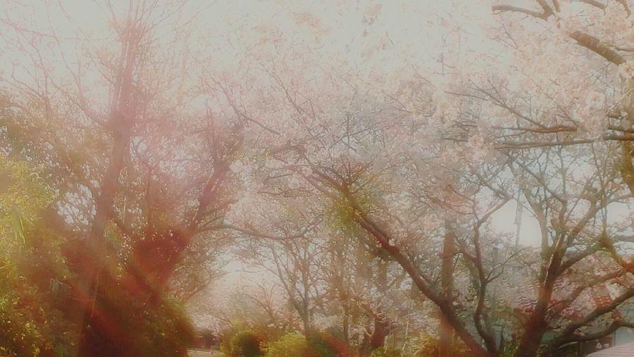 これまた同じ場所の桜です。なお、画像の加工はこのアプリの加工に加えて写真ふんわりという別のアプリを使ってます(*^^*) Spring Cherry Blossoms カメラ女子 写真撮ってる人と繋がりたい 写真好きな人と繋がりたい 写真すきな人と繋がりたい 桜 初心者